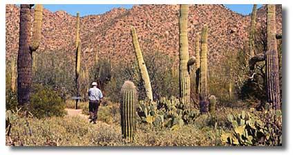 Desert Saguaro Cactus